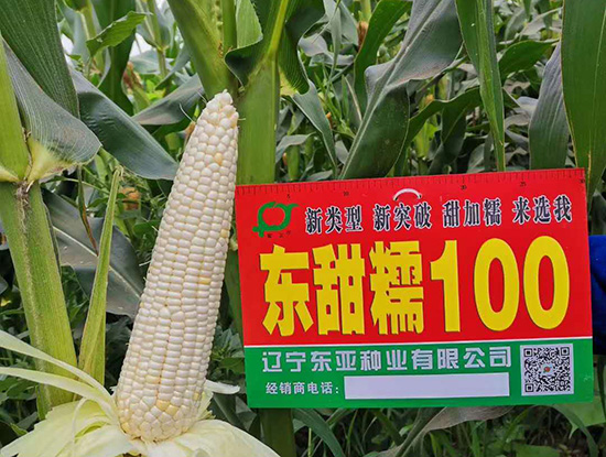 东甜糯100